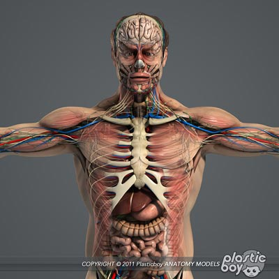 Free Software Downloads Human Male Anatomy Complete 3d Model Pack