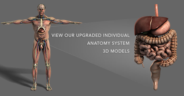 anatomy 3d models - plasticboy, Muscles