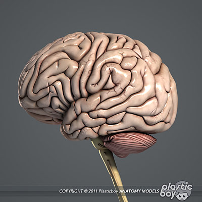 Make 3D Brain Model http://www.plasticboy.co.uk/store/Human_Male_Brain_Textured_V04.html