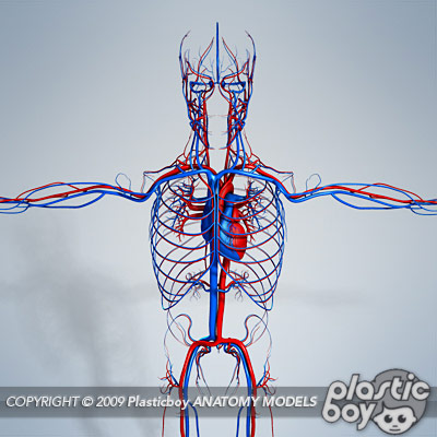 Circulatory System Of A Human