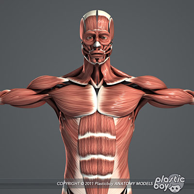 human male muscualr system anatomy 3d model v04 (fully textured), Muscles