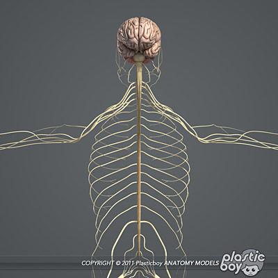 Human Brain Anatomy 3d And Brain Anatomy 3d Model