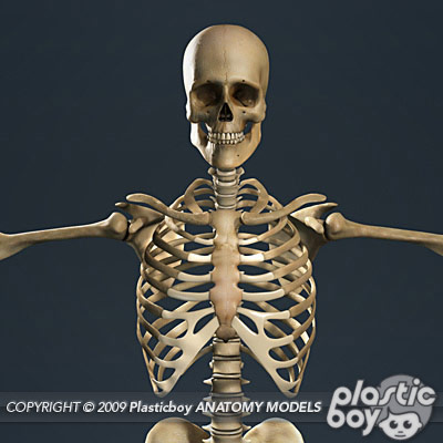 Realistic, detailed model of Human Skeleton with textures.