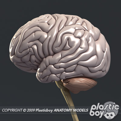 Make 3D Brain Model http://www.plasticboy.co.uk/store/Human_Brain_no_textures.html