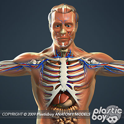 human male anatomy, muscular system & internal organs 3d model pack, Muscles