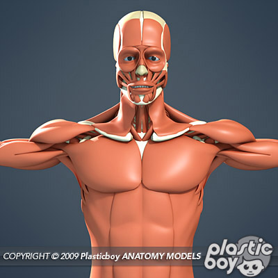 human male muscular system 3d model (no textures), Muscles